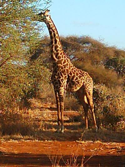 la maestosità della giraffa