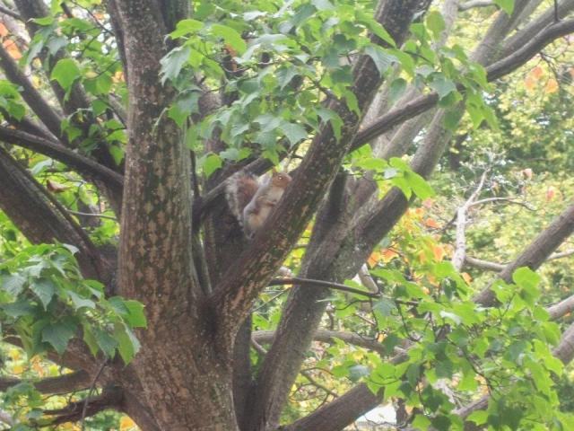 scoiattolino in Hyde Park