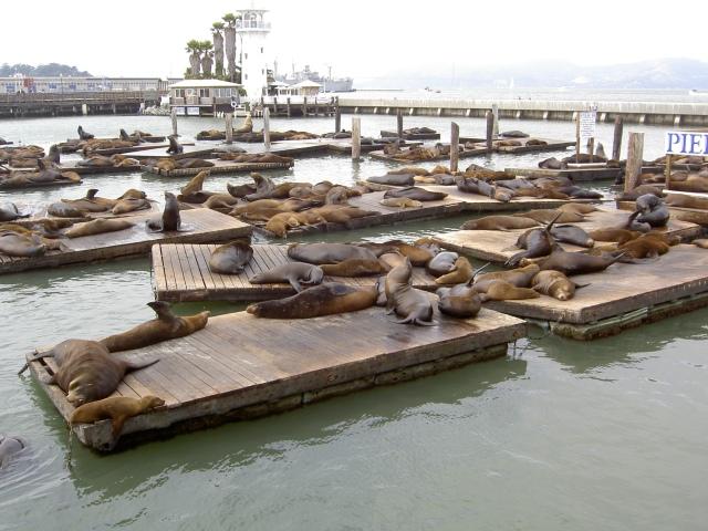 San Francisco - leoni marini al Pier 39
