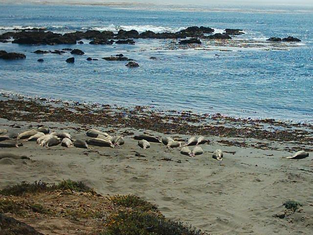 Big Sur - elefanti marini spiaggiati